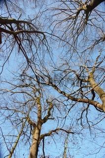 Baumkronenansicht von mehreren Buchen im Urwald Sababurg