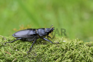 Weiblicher Hirschkaefer, Lucanus cervus, Female Stag beetle