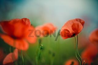 Mohnblumen auf Sommerwiese