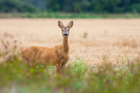 Adorable roe deer doe looking on side of grain field in countryside.