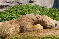 Junger Eisbaer (Ursus maritimus) beim Spielen, Eisbär im Zoo