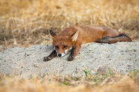 Bored young red fox lying down and stretching legs on agricultural field
