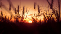 Warm Sunset with closeup Wheat