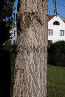 Ginkgo biloba, Gikgobaum, Maidenhair tree