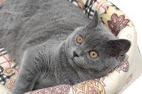 gray cat close up - horizontal photo.