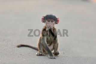 Baby baboon funny