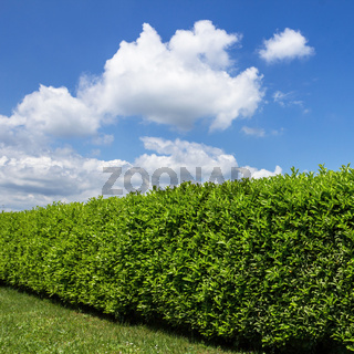 Green hedge in a garden