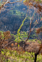 Trees burst forth in new leaves after bush fires