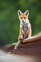 Alert red fox sitting on railway track in summertime nature.