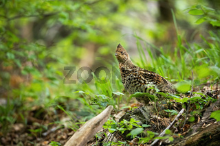 Curious hazel grouse watching attentively in green woodland