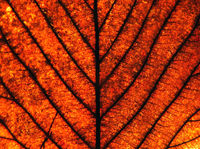 full frame close up of an orange brown autumn leaf showing veins and cells