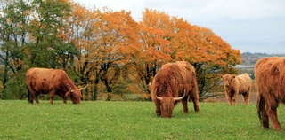 Herd of highland cows by autumn day