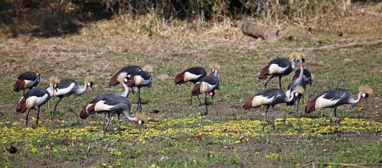 Südafrika-Kronenkraniche im South Luangwa Nationalpark, Sambia, crowned crane at South Luangwa National Park, Zambia