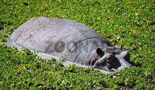 Hippo im South Luangwa Nationalpark, Zambia; Hippo at South Luangwa, Zambia