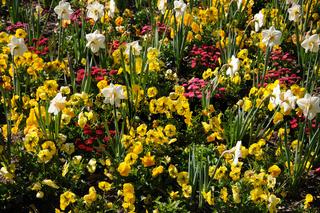 Bellis, Narcissus, Viola
