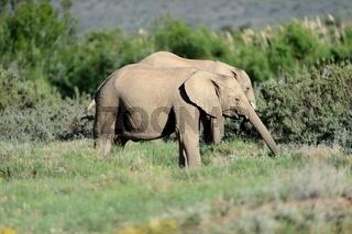 A shot of an Elephant while on safari