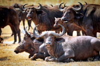 Afrikanische Büffel im Murchison Falls Nationalpark Uganda (Syncerus caffer)