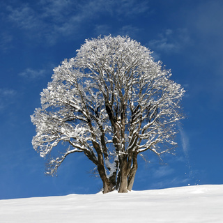 Beautiful maple tree on a winter day