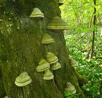 Zunderschwamm, fomes fomentarius, horse's hoof fungus; tinder fungus