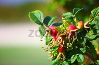 Wild rose hips on the bush