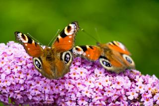 Pfauenauge, Schmetterling