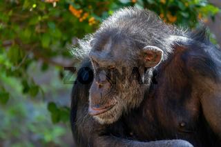 Chimpanzee Sitting in a Zoo