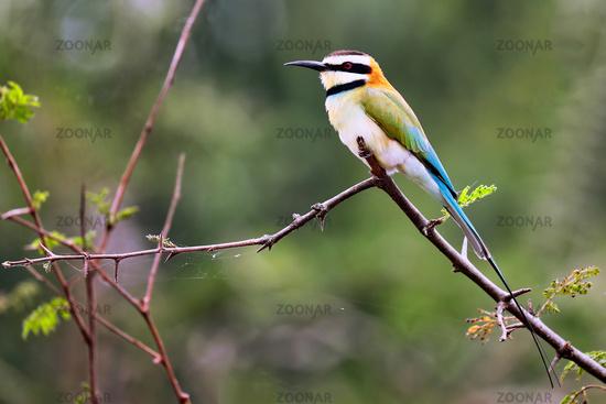 Weißkehlspint im Queen Elizabeth Nationalpark, Uganda (Merops albicollis) | white-throated bee-eater
