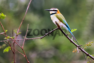 Weißkehlspint im Queen Elizabeth Nationalpark, Uganda (Merops albicollis) | white-throated bee-eater