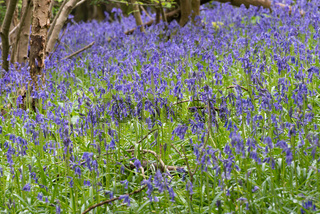 Sussex Bluebells