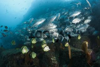 Großaugen-Stachelmakrelen und Barbier-Falterfische, Mexiko