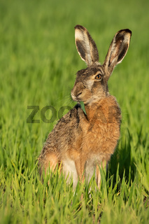 Alert brown hare feeding on green field with blade of grass in mouth.