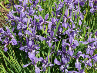 Iris chrysographes, Goldstreifenschwertlile
