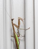 Brown praying mantis on the doorframe of a home