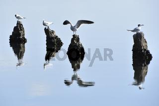 Series: cormorant & sea-gulls 12
