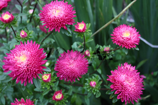 bright autumn flowers asters