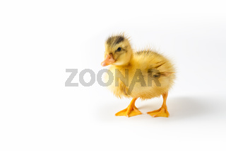 yellow duckling closeup isolated