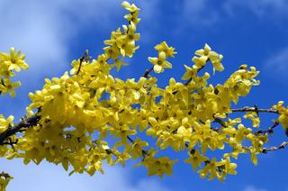Forsythien; Forsythia intermedia