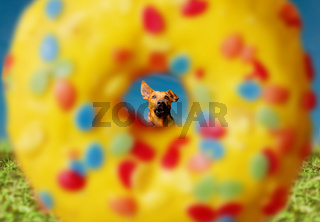 Cute little dog running to a big sweet colorful donut outdoors. Nutrition and food concept.