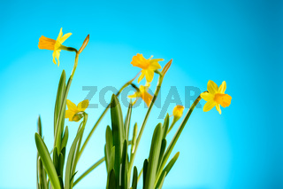 Yellow narcissus spring flowers on blue background