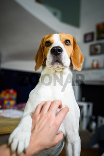 Owner pet a beagle dog. Scratching dog chest.