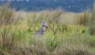 Schuhschnabel im Mabamba-Sumpf am Viktoriasee, Entebbe, Uganda (Balaeniceps rex) | Shoebill at Mabamba swamp at Lake Victoria, Entebbe, Uganda (Balaeniceps rex)
