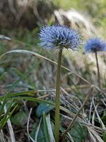 Nahaufnahme einer blühenden Kugelblume, Globularia punctata
