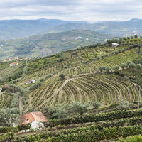 Hills covered with vineyards in Portugal