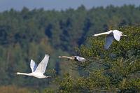 Hoeckerschwanfamilie im Flug