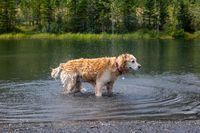 Labrador dog ina lake looking right
