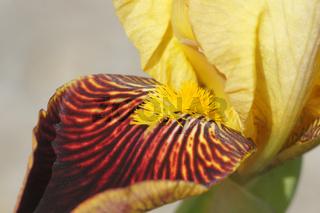 Iris barbata-elatior, Hohe Bartiris
