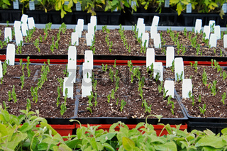 A table full of garden trays with peas sprouting