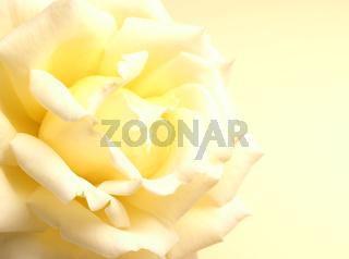 Beautiful yellow rose on a yellow background