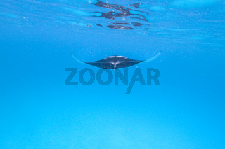 Giant oceanic manta ray, Manta Birostris ,hovering in blue ocean on Maldives islands