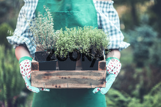 Female hands in the gloves holding young sprouts in a wooden box in the garden